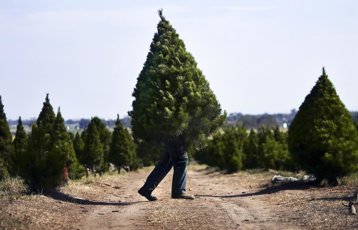 Fabio Iuele busy at work at North Pole Christmas Tree Farm